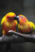 Preview iPhone wallpaper Yellow parrots, feeding