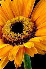Preview iPhone wallpaper Yellow petals gerbera, black background