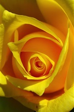 Preview iPhone wallpaper Yellow rose flower close-up, petals, shadow