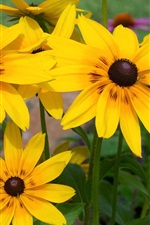 Preview iPhone wallpaper Yellow rudbeckia flowers