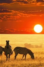 Preview iPhone wallpaper Zebras, grassland, sunset