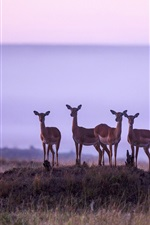 Preview iPhone wallpaper Africa, antelope, Kenya, Masai Mara National Reserve