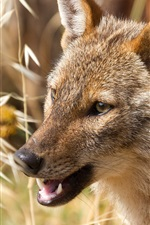 Preview iPhone wallpaper African wolf, predator, grass