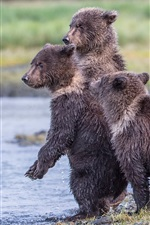 Preview iPhone wallpaper Alaska, Katmai National Park, lake, three wet bear cubs