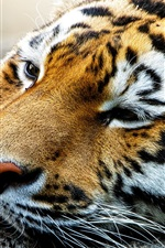Preview iPhone wallpaper Amur tiger rest, face close-up