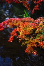 Autumn, maple leaves, red and yellow, twigs, pond