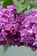 Preview iPhone wallpaper Beautiful lilac flowers, inflorescence
