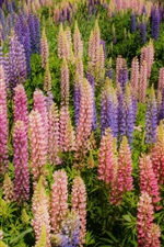 미리보기 iPhone 배경 화면 아름다운 lupines 꽃