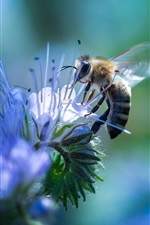 Preview iPhone wallpaper Bee and blue flowers, insect photography