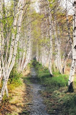 Preview iPhone wallpaper Birch forest, grass, path, nature