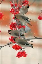 As aves comem bagas vermelhas, galhos, neve