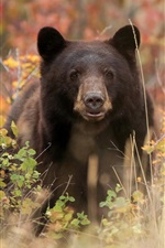 Preview iPhone wallpaper Black bear front view, grass