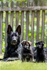 Preview iPhone wallpaper Black dogs, German shepherd, puppies, grass
