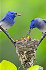 Preview iPhone wallpaper Blue birds feeding