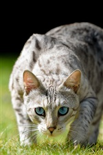 Preview iPhone wallpaper Blue eyes cat front view, grass