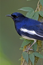 Preview iPhone wallpaper Blue feather bird, magpie, tree