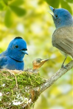 Blue feather birds family