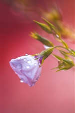 Preview iPhone wallpaper Blue flower after rain, water drops