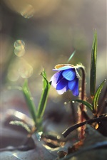 Preview iPhone wallpaper Blue flower, nature, dew, morning