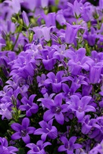 Preview iPhone wallpaper Blue purple bells flowers