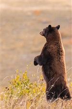 Preview iPhone wallpaper Brown bear standing, look, grass