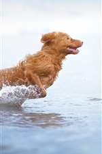 Preview iPhone wallpaper Brown color dog run in water