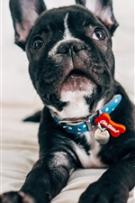 Preview iPhone wallpaper Bulldog, black puppy look at you