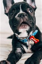Bulldog, cachorro preto olha para você