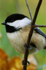 Preview iPhone wallpaper Chickadee, bird, twigs