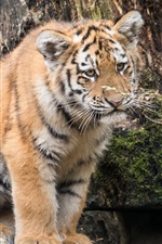 Preview iPhone wallpaper Cute amur tiger baby
