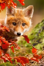 Cute fox in autumn, red leaves
