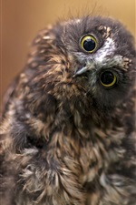 Preview iPhone wallpaper Cute owl photography, head, eyes, look