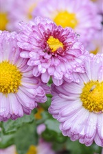 Preview iPhone wallpaper Daisy, pink flowers, water drops