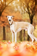 Dog in autumn, red leaves ground