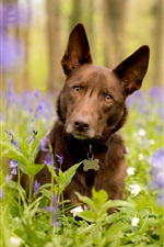 Preview iPhone wallpaper Dog look, blue flowers