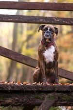 Preview iPhone wallpaper Dog sit on wood bridge