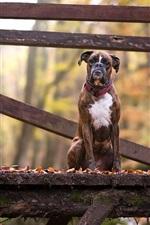 iPhone fondos de pantalla Perro sentado en el puente de madera