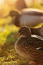 Preview iPhone wallpaper Ducks, nature, backlight