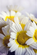 Preview iPhone wallpaper Flowers close-up, white yellow petals chamomile