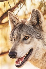 Preview iPhone wallpaper Forest animals, wolf, head, mouth, predator