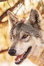 iPhone fondos de pantalla Animales del bosque, lobo, cabeza, boca, depredador