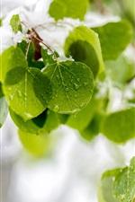 Folhas verdes frescas, neve, gotas de água