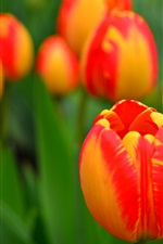 Garden flowers, orange tulips