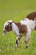 Goat cub, grass