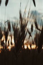 Preview iPhone wallpaper Grass at evening