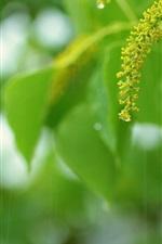 Green leaves, flowers, rain, summer