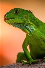 Preview iPhone wallpaper Green lizard, blurry background
