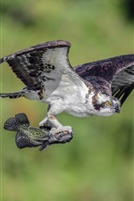 Preview iPhone wallpaper Hawk catch a fish flight