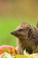 Preview iPhone wallpaper Hedgehog, leaves, apple, barrel