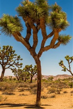 Preview iPhone wallpaper Joshua Tree National Park, USA, desert, shrub, trees, grass
